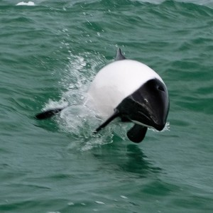 Black & white Commerson's dolphin