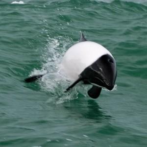 Black & white Commerson's dolphin