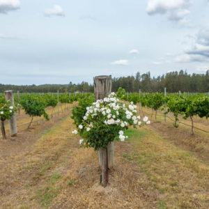 Peterson House vineyard, Hunter Valley