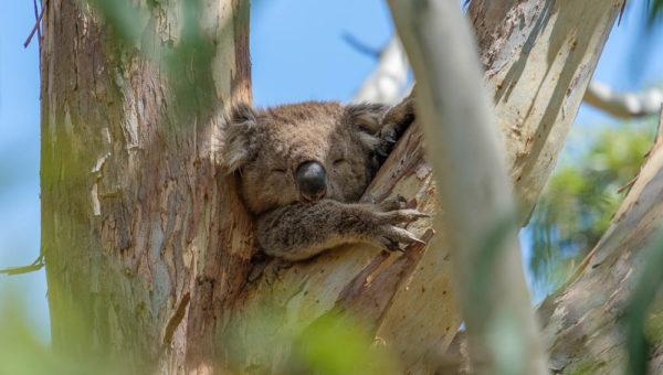 Slaperige koala bij Tower Hill