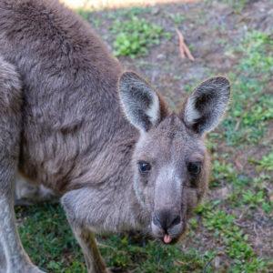 Kangoeroe steekt z'n tong naar je uit in Halls Gap